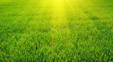 Zelený trávník po vertikutaci
