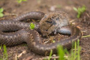 zmije a myš