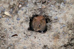hraboš - polní myš v zemi