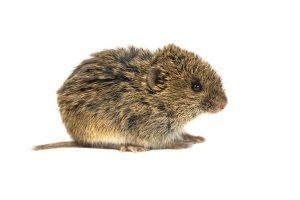 hraboš - polní myš