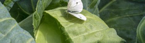 Jak se zbavit běláska zelného