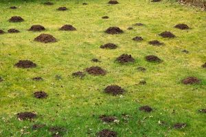 Krtince v trávníku