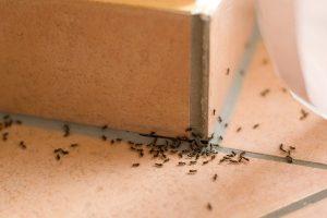 Mravenec v kuchyni