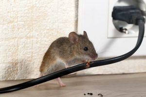 myš okusuje kabel