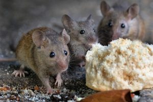 Myši žerou