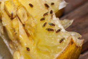 octomilky na citronu
