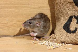 Potkan žere obilí