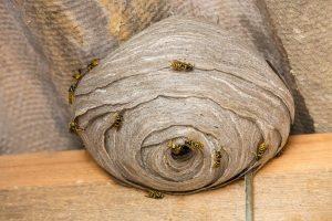 Vosí hnízdo na půdě